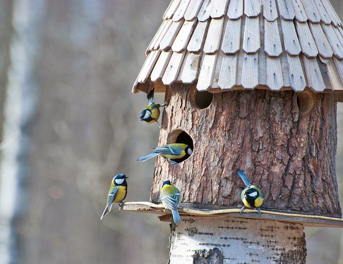Bild: Blaumeisen im Vogelhaus