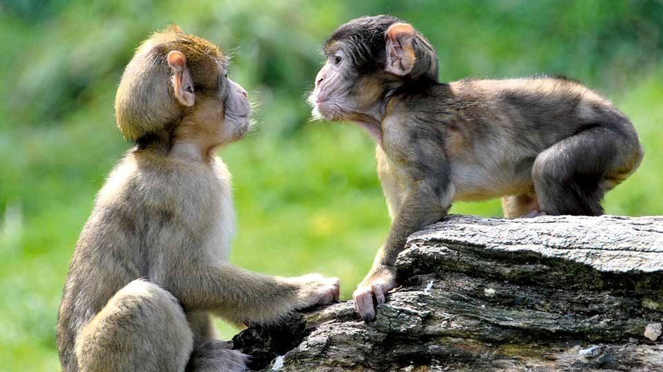 Affen im Montagne des Signes