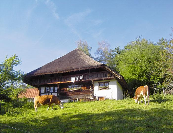 Bauernhausmuseum Schneiderhof mit Kühen vorne dran
