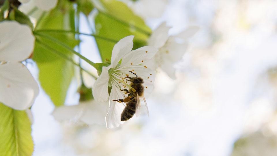 Bienen_und_Blüten