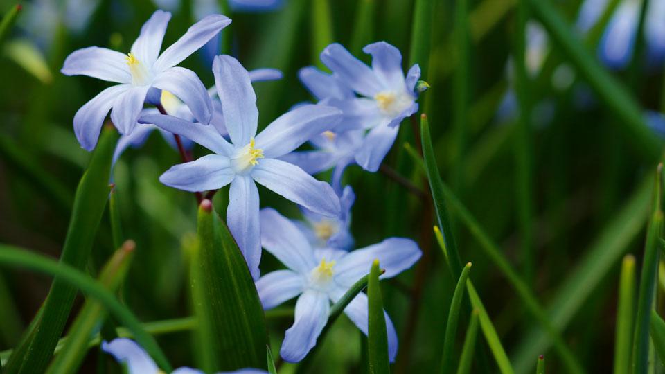 Blausternchen Blume