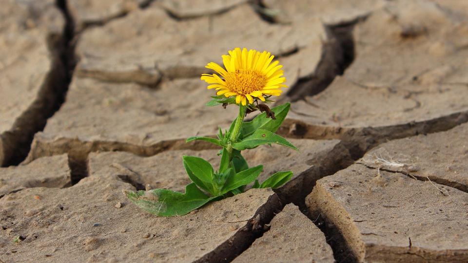 Blume wächst in trockener Erde