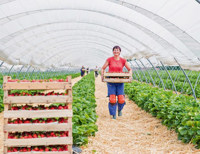 Erdbeeren im Tunnel