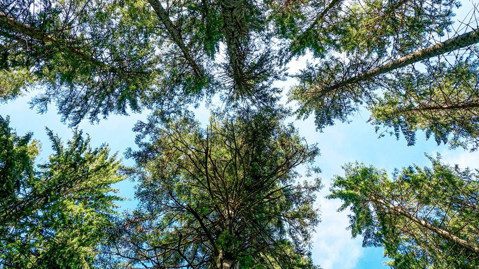 Bäume aus Froschperspektive