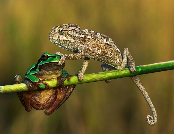 Frosch und Chamäleons