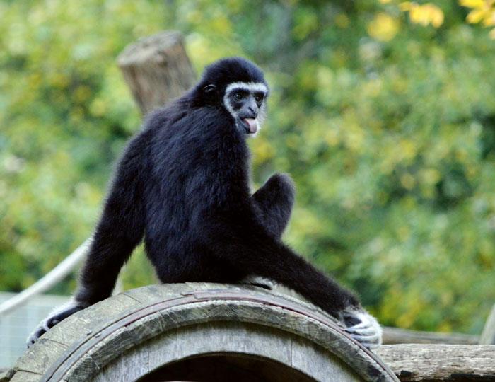 Gibbonaffe streckt Zunge raus