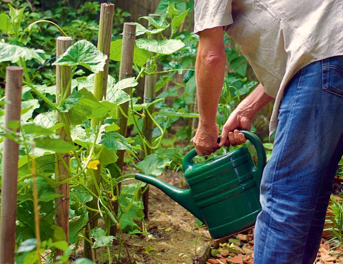 Gießen von Gurkenpflanzen