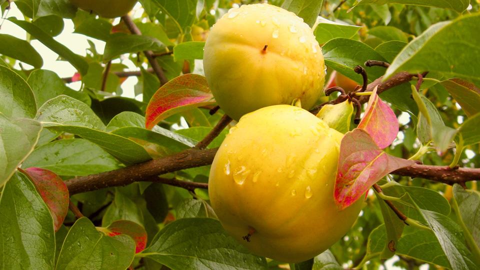Kaki Früchte