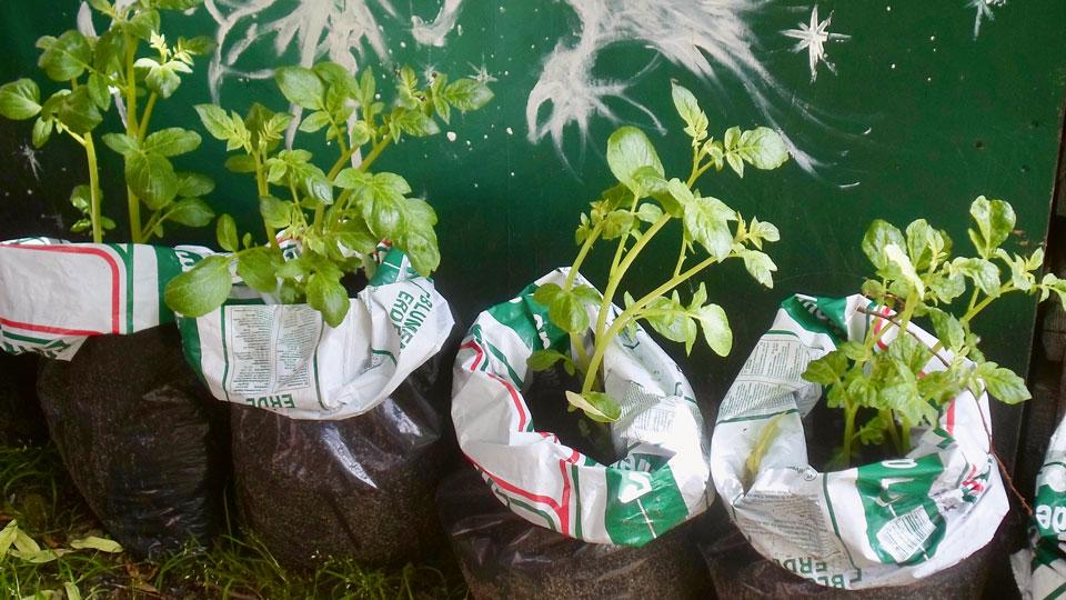 Kartoffel Pflanze