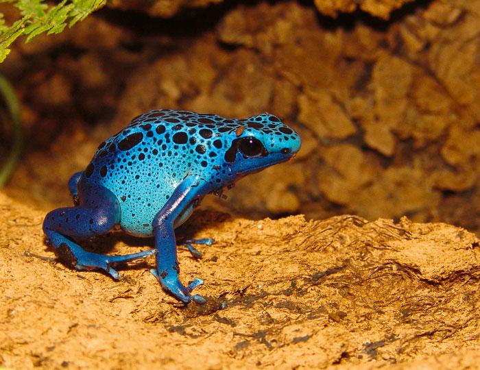 Reptilium Landau Blauer Pfeilgiftfrosch