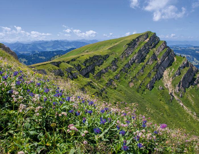 Rindalphorn Bergflockenblume