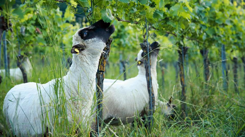 Schafe im Weinbau