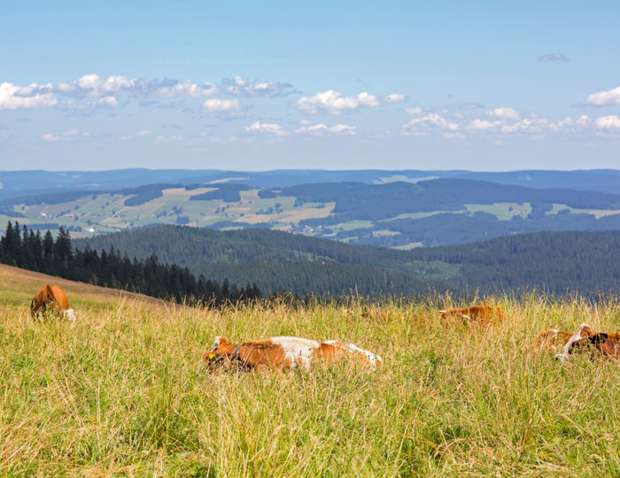 Viehweide-am-Wanderweg-zum-Feldberggipfel_Original_5523