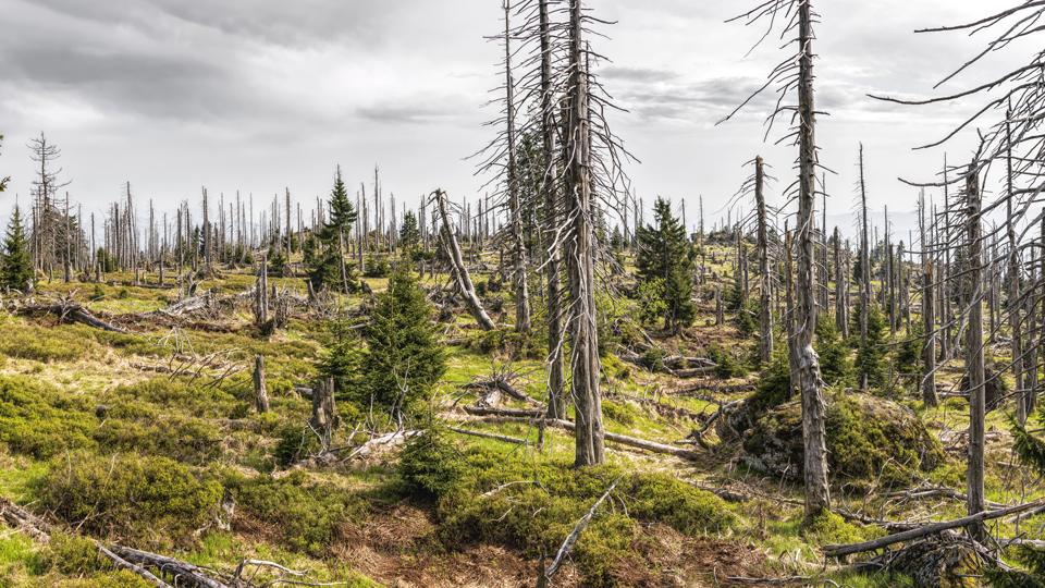 Tote Bäume im Wald