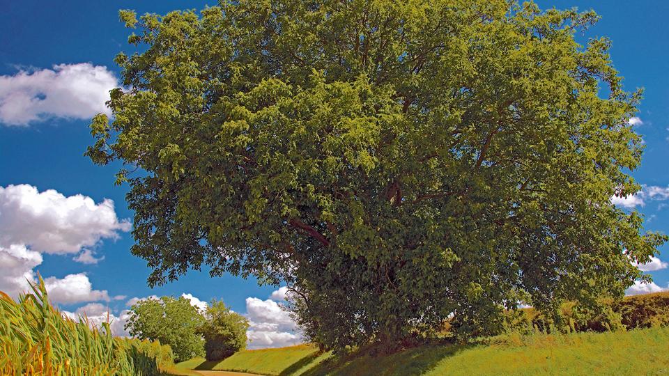 Walnussbaum und Maisfeld