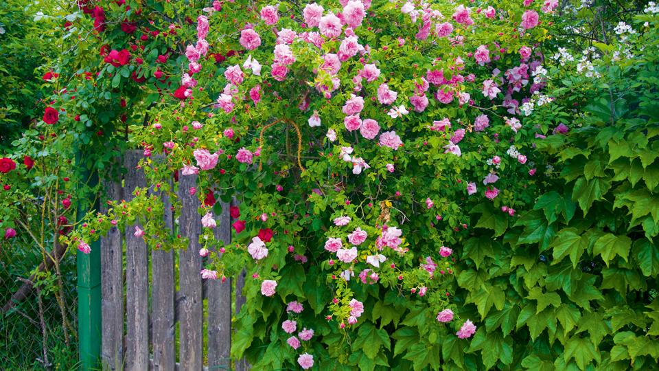 Wonnhalde Eingang mit Ramblerrosen