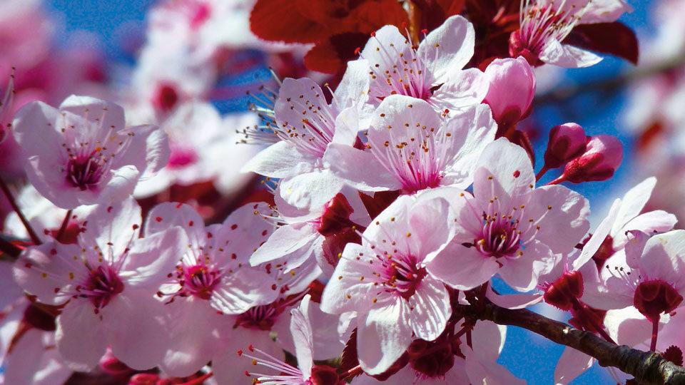 Kischblüten