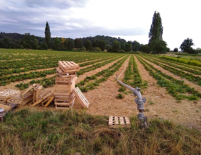 Erdbeeranbau mit Bewässerungsanlage