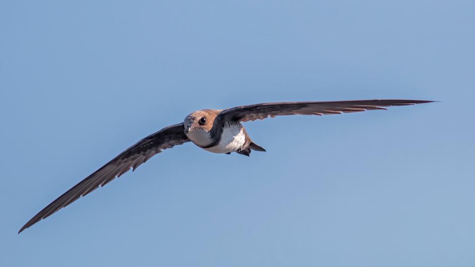 Alpensegler beim Fliegen