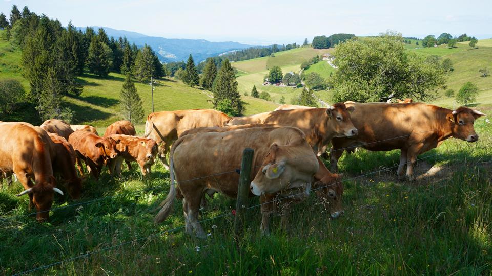 Schindelmatthof; Bioland; Kühe