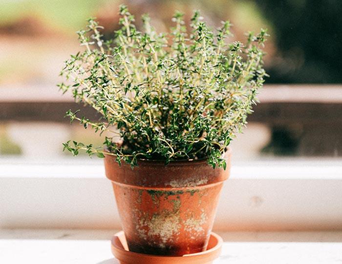 alter Blumentopf mit Kräutern